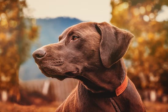 Chocolate Lab in a red collar looking into the distance on a fall day