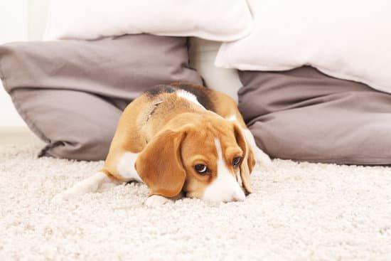 Sad looking beagle laying on shaggy white carpet