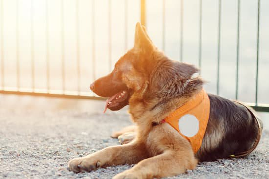German shepherd in an orange service dog vest