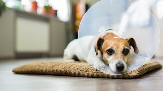Terrier laying in bed with a cone on its head