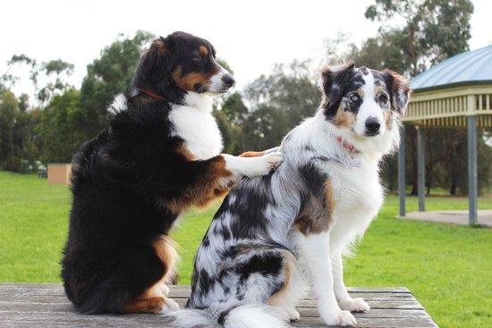 Two Australian shepherds massaging each other