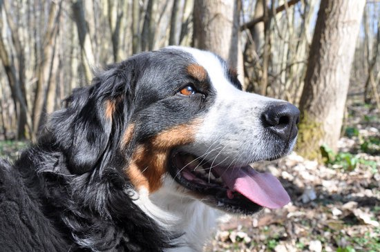 Bernese Mountain Dog On a sunny day in the woods