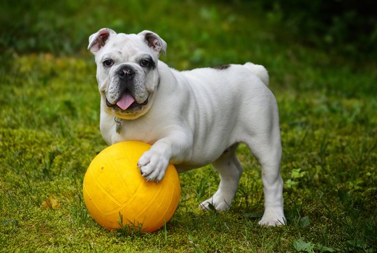 Bulldog playing with a yellow ball in a grass yard