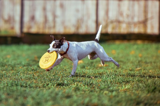 Terrier With A Yellow Frisbee Running Through A Grass Field