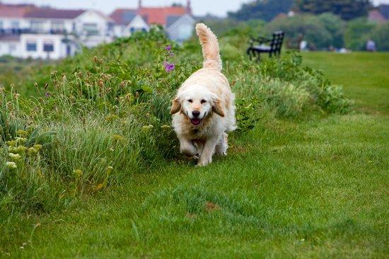 golden retriever running through a park next to flowers
