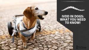 IVDD In Dogs: What you need to know!