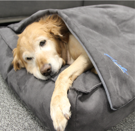 Old Golden retriever reducing anxiety with weighted blanket for dogs