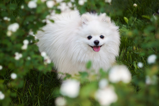 Pomeranian standing in a grouping of white flowers