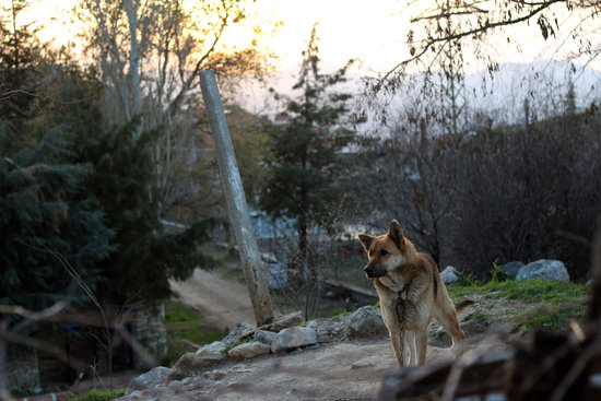 German Shepherd standing on a hill with trees