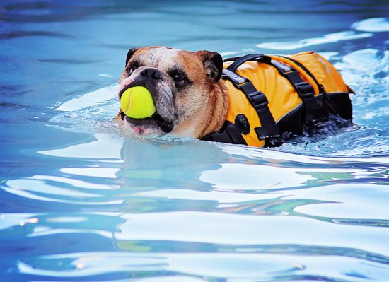Bulldog swimming while wearing a life vest and holding a tennis ball in their mouth