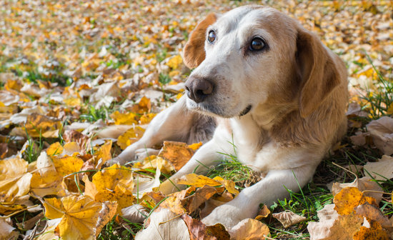 Old Beagle With CHD