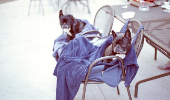 two french bull dogs enjoying their anxiety blanket for dogs