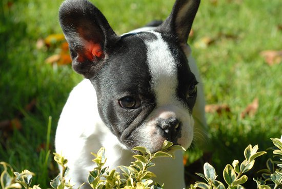 Boston Terrier Eating Leaves In A Grass Lawn