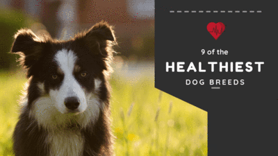 HEALTHIEST DOG BREEDS: 9 DOG BREEDS THAT RARELY NEED TO VISIT THE VET
