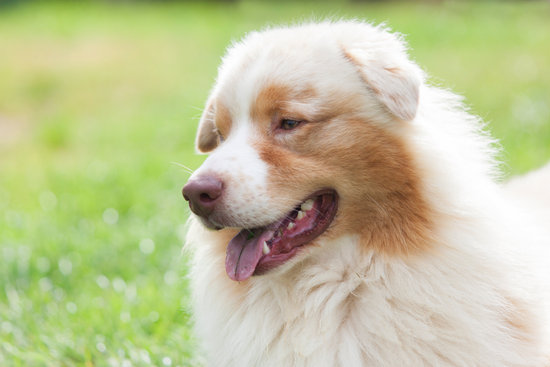 Light Colored Australian Shepherd panting on a sunny day