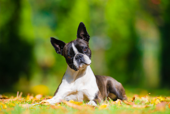 Boston Terrier looking confused in the fall