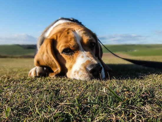 Sad looking beagle on a leash laying in the grass in a field