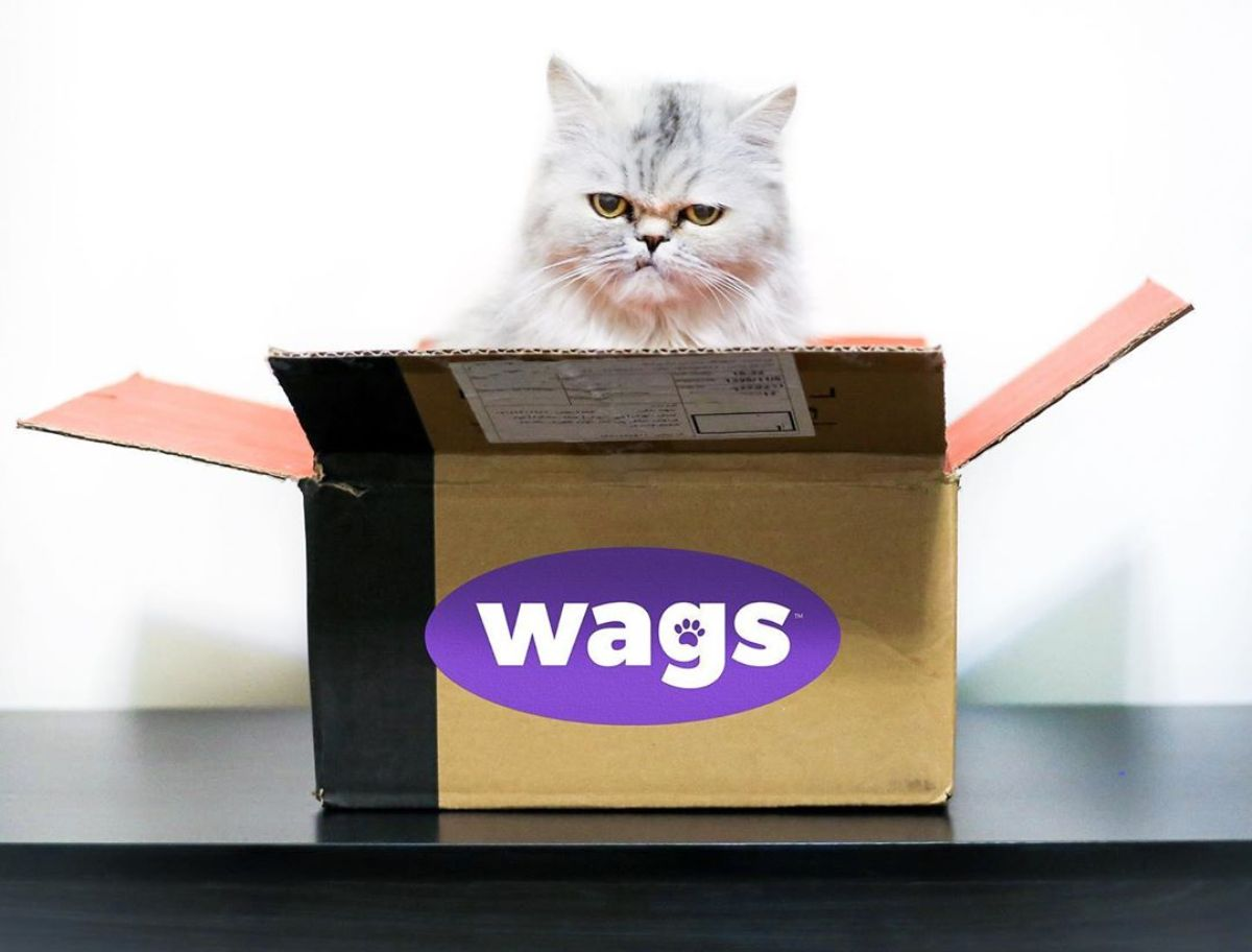 Grumpy white persian cat sitting in Wags box