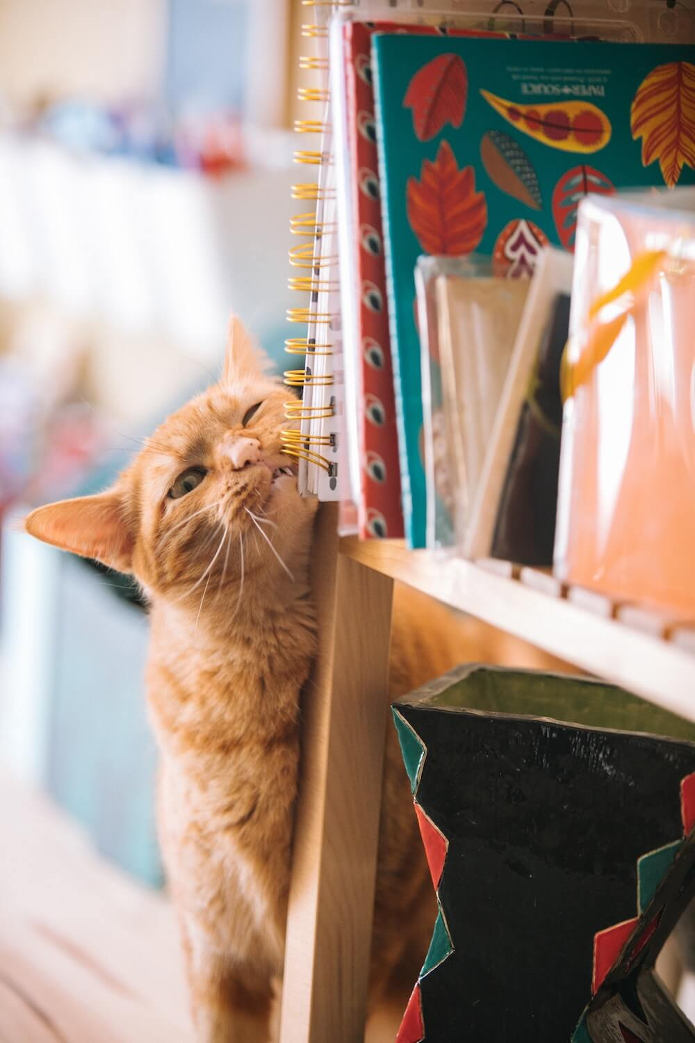 Orange Domestic Shorthair Rubbing on Bookshelf