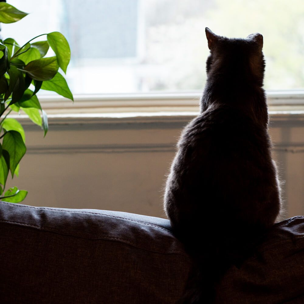 Domestic Short Hair Cat looks out window