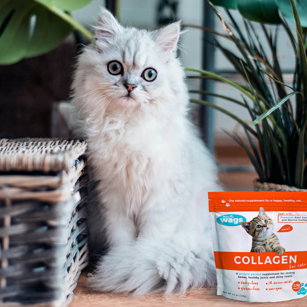 White Persian cat with Totally Wags Collagen