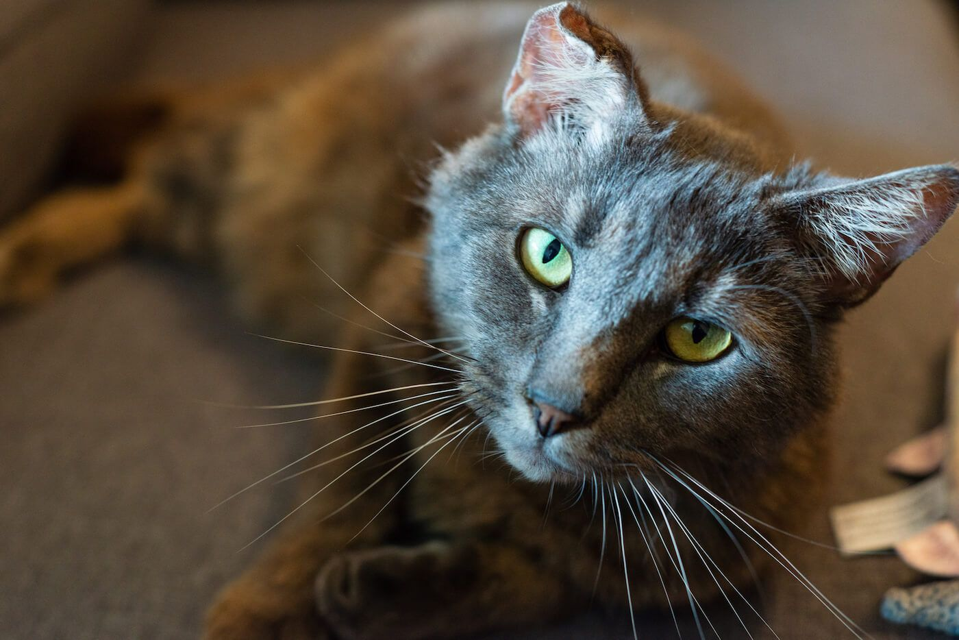Russian Blue cat with big yellow green eyes