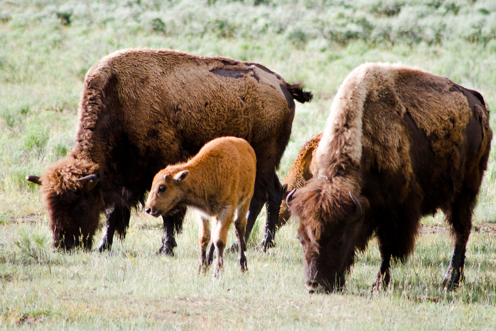 Buffalo adults and calf in Yellowstone National Park
